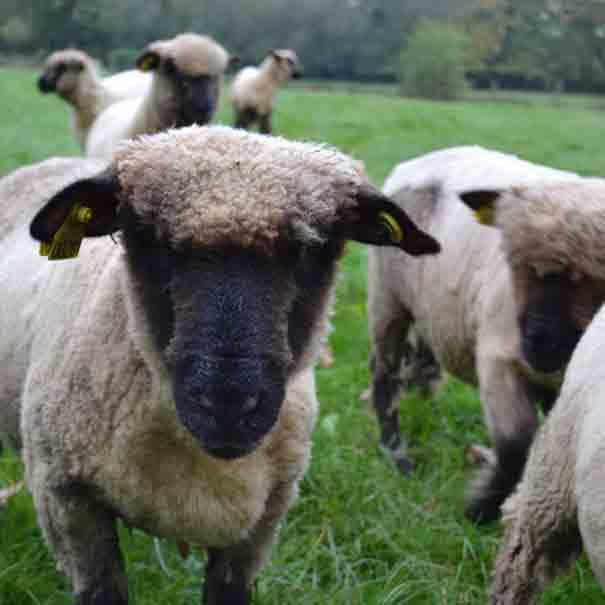 Ce sont des moutons de Ouessant qui font office de tondeuse !